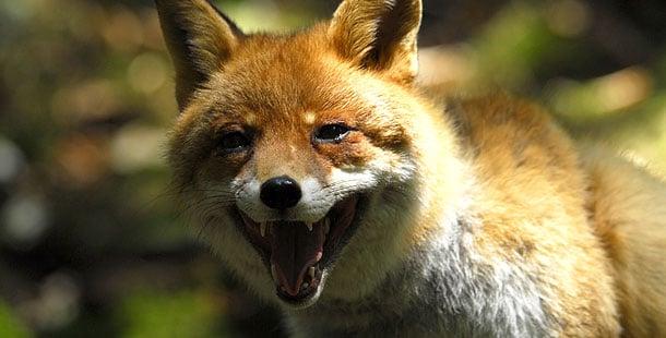 610_ag_red-fox.jpg